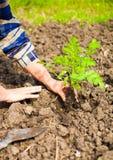 Kvinna som planterar den unga växten in i jorden Våren och ekologi lurar Royaltyfria Foton