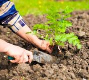 Kvinna som planterar den unga växten in i jorden Våren och ekologi lurar Royaltyfri Bild