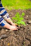 Kvinna som planterar den unga växten in i jorden Våren och ekologi lurar Arkivbild