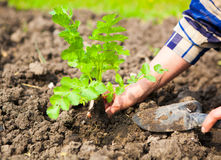Kvinna som planterar den unga växten in i jorden Våren och ekologi lurar Royaltyfri Fotografi