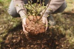 Kvinna som planterar en buske i trädgården, liten blåbärbuske royaltyfria bilder