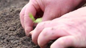 Kvinna som planterar en ung växt i jorden stock video