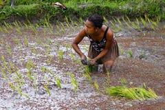 Kvinna som planterar ris in i risfältfälten Royaltyfri Bild