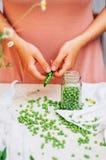 Kvinna som podding nya ärtor i köket Kvinna som podding den nya ärtan Fotografering för Bildbyråer