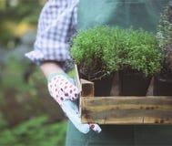 Kvinna som rymmer en ask med växter i hennes händer i trädgårds- mitt Royaltyfria Bilder