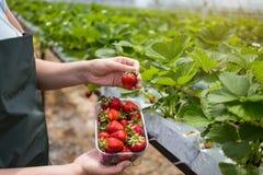 Kvinna som rymmer en saftig biten jordgubbe in i kameran, strawber arkivfoto