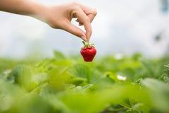 Kvinna som rymmer en saftig biten jordgubbe in i kameran, strawber royaltyfri foto