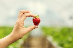 Kvinna som rymmer en saftig biten jordgubbe in i kameran, strawber royaltyfria bilder