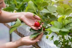 Kvinna som rymmer en saftig biten jordgubbe in i kameran, strawber arkivbild