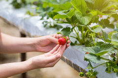 Kvinna som rymmer en saftig biten jordgubbe in i kameran, strawber arkivbilder