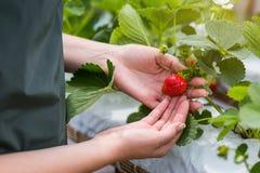 Kvinna som rymmer en saftig biten jordgubbe in i kameran, strawber royaltyfri bild