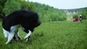 Kvinna som spelar med hennes border collie hund som kastar frisbeen lager videofilmer