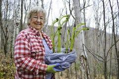 Kvinna som transplanterar fiddleheads Arkivfoto