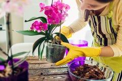 Kvinna som transplanterar orkid?n in i en annan kruka p? k?k Hemmafru som tar omsorg av hem- v?xter och blommor royaltyfri foto