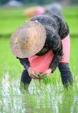 Kvinna som transplanterar risfält Royaltyfri Bild