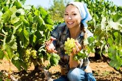 Kvinna som väljer mogna druvor på vingård arkivfoton
