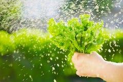 Kvinna som väljer ny sallad från hennes grönsakträdgård Grönsallatsidor under regndropparna Royaltyfria Bilder