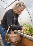 Kvinna som väljer organiska salladgräsplaner i växthus Arkivfoto