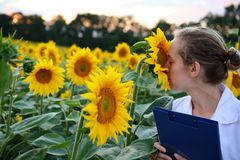 Kvinnaagronom som luktar solrosen i sommarfält royaltyfria bilder