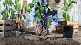 Kvinnaarbete i växt för söt peppar för ställe för grönsakträdgård från krukan i jordningen, så att den kan växa, nära träaskar so arkivfilmer
