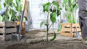 Kvinnaarbete i vatten för grönsakträdgård växten för söt peppar med trädgårdslangen, så att den kan växa, nära träaskar av växter stock video