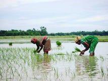 Kvinnabönder som planterar risprovtagningen arkivbild