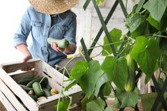 Kvinnabonden som arbetar i grönsakträdgård, samlar en gurka in royaltyfria bilder