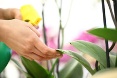 Kvinnahänder med sprejaren som besprutas på blommasidor, tar omsorg Royaltyfri Fotografi