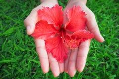 Kvinnahänder på grönt gräs och den röda blomman i hand Royaltyfria Foton