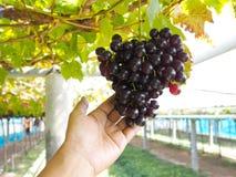 Kvinnahand som rymmer röda druvor på vingården arkivbilder