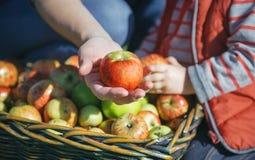 Kvinnahand som visar det organiska äpplet från skörden Royaltyfri Foto