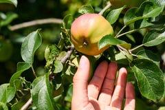 Kvinnahanden lyftte och det nya röda äpplet för hastigt grepp från träd Lantligt och vård- begrepp royaltyfri fotografi