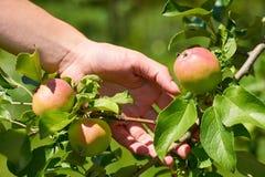 Kvinnahanden lyftte och det nya röda äpplet för hastigt grepp från träd Lantligt och vård- begrepp arkivfoto