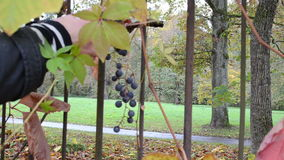 Kvinnahanden - välj för druvabäret för hopsamlingen mogen produktion för vin för hösten stock video