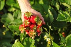 Kvinnahandinnehavet gömma i handflatan mycket av mogna jordgubbar över fältet arkivbilder