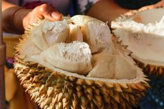 Kvinnainnehav som delas i den halva Durianfrukten royaltyfri bild
