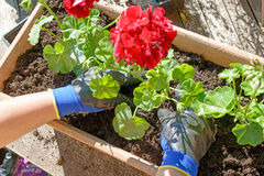 Kvinnaman som planterar pelargona för sommarträdgård Royaltyfri Foto