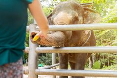 Kvinnamatningar en elefant arkivfoton