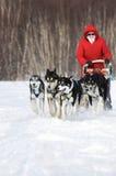 Kvinnamusher kör den sledding hundsläden för hunden på vinterskog arkivfoto