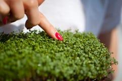Kvinnan är att trycka på nya groddar av arugula vid fingret med röd manikyr Sund mat, bruka som är hemmastatt som bantar, kropp royaltyfri fotografi