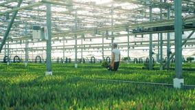Kvinnan arbetar i ett växthus som bär en hink med samlade tulpan lager videofilmer