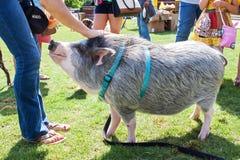 Kvinnan daltar det vänliga svinet på koppeln på festivalen Arkivfoto