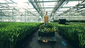 Kvinnan drar en vagn med tulpan, medan arbeta i ett växthus med blommor stock video