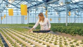 Kvinnan förlägger grönsallatväxter på ett magasin En arbetare väljer grönsallatväxter från sängar och sätter dem på ett plast- ma lager videofilmer