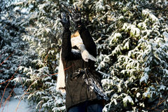 Kvinnan försvarar sig som spelar, kastar snöboll kamp Arkivfoton