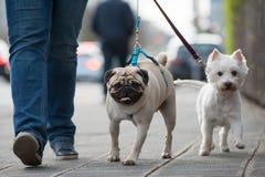 Kvinnan går med hundkapplöpning i staden royaltyfri fotografi