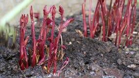 Kvinnan gräver upp jord nära unga röda växter arkivfilmer