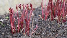 Kvinnan gräver upp jorden nära unga röda växter lager videofilmer