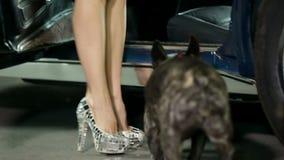 Kvinnan i höga häl går med hennes franska bulldogg och skriver in korvetten stock video