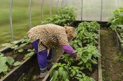 Kvinnan i växthus korrigerar pepparplantor Royaltyfri Bild